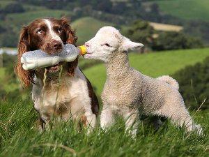 dog-lamb-600