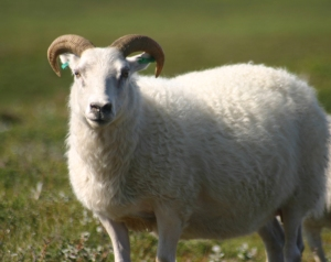 Icelandic_sheep_summer_06